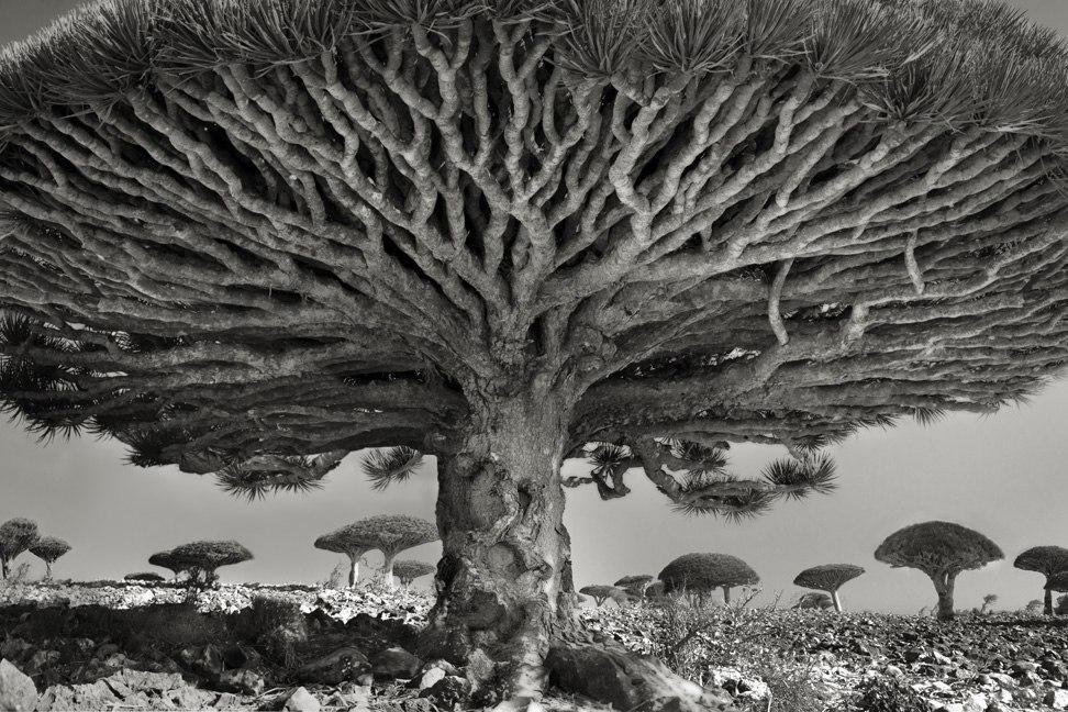 Фото дня: настаріші дерева планети
