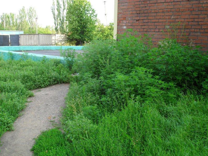 Під вікнами пологового будинку в Запоріжжі активіст знайшов небезпечні рослини