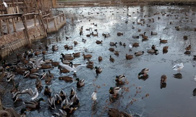 До центрального парку Запоріжжя злетілася рекордна кількість качок – фото