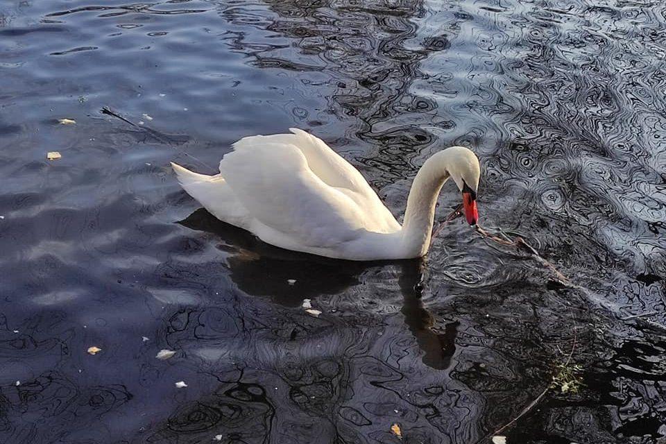 Кидають петарди та цькують собак: мешканці Запоріжжя просять врятувати молодого лебедя