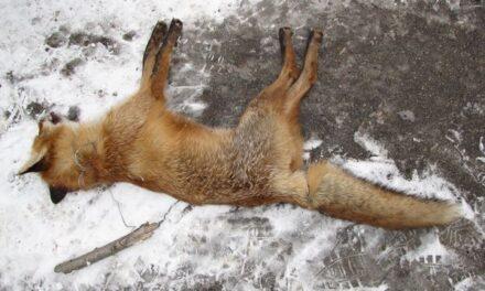 У Запоріжжі на заповіднику у браконьєрські пастки потрапили тварини (фото)