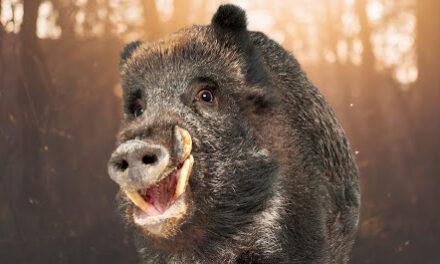 На Запоріжжі свійських свиней, які шкодили усьому селу, закрили – відео