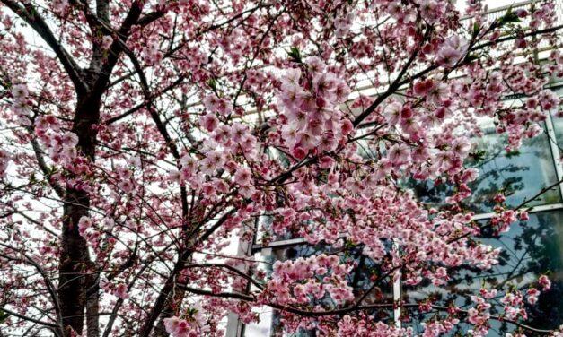 У Запорізькому ботсаду на всю квітне сакура та магнолія – фото