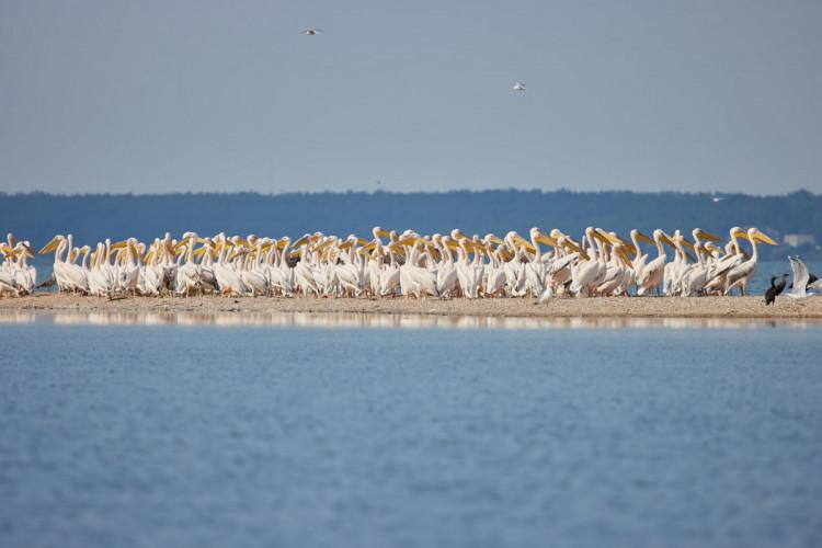 Поблизу басейну Азовського моря на Запоріжжі помітили зграю червонокнижних птахів – фото