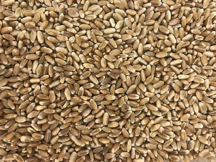 Підбито підсумки збору урожаю зернових культур. Запорізька область лідирує