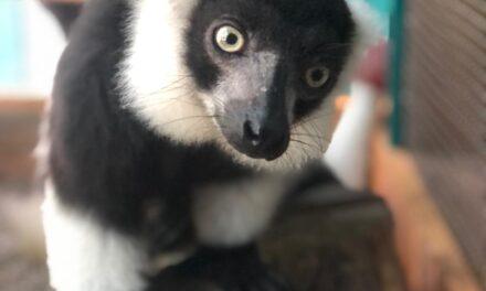 Бердянський зоопарк познайомив зі своїм довгожителем – Лемуром